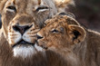 Close up of Lioness with cub