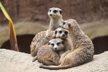 Meerkat's Behavior