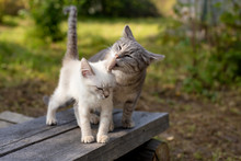 Caring Mom Cat Licking A Kitte...