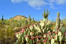 Desert Landscape Phoenix Arizona Saguaro Prickly Pear Paddle Cactus Fruit