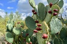 Prickly Pear Cactus Flower Fruit Plant Thorns Desert
