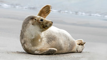 Waving Harbor Seal / Common Se...