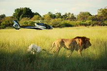 Lion Walking Near Helicopter