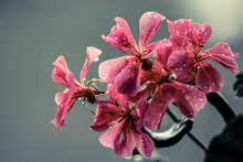 Pink Petaled Flower Bloom During Daytime Close-up Photography
