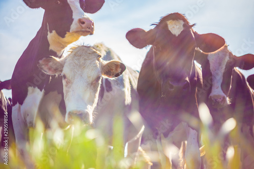 Cows taken against the light, vintage style