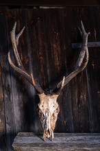 Deer Skull With Horns. Big Antlers.Vertical Frame.