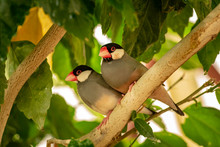 Small Grey Gouldian Finch Birds Sitting On The Tree Branch. (high Iso Image)