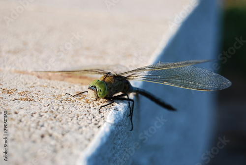 Large Spanish Dragonfly on Concrete Canvas Print