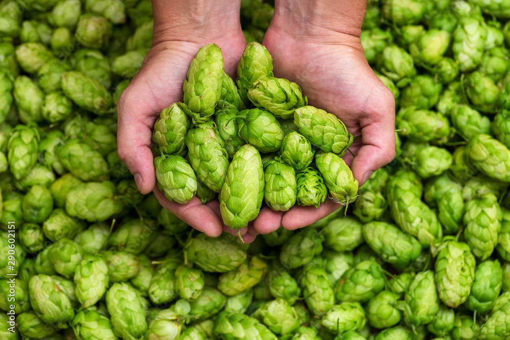 Fototapety, obrazy: Green hops for beer. Man holding fresh hop in his hands. Craft beer ingredients at a brewery