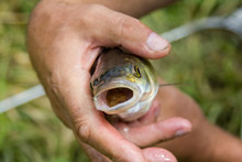 Caught Fish Chub With His Mouth Open In The Hands Of A Fisherman. Closeup