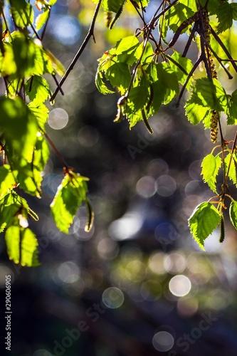 gałązki brzozy z zielonymi listkami i kwiatami - 290606905