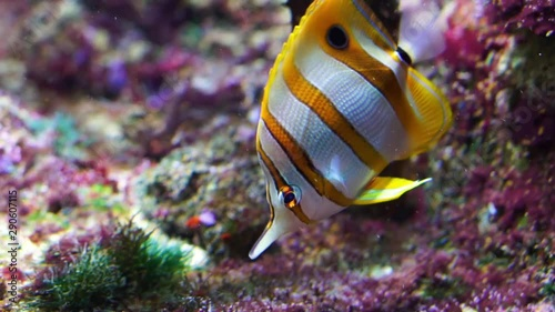 closeup of a copperband butterflyfish swimming underwater, tropical fish specie Canvas-taulu