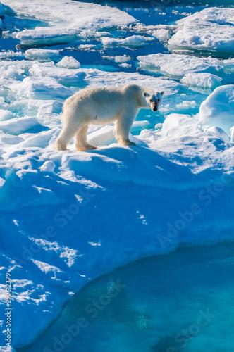 Recess Fitting Polar bear Large polar bear walking on the ice pack in the Arctic Circle, Barentsoya, Svalbard, Norway