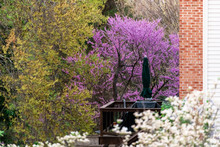 Redbud Tree Branches With Purple Flowers Blooming In Spring In Garden Backyard In Virginia With Deck And House