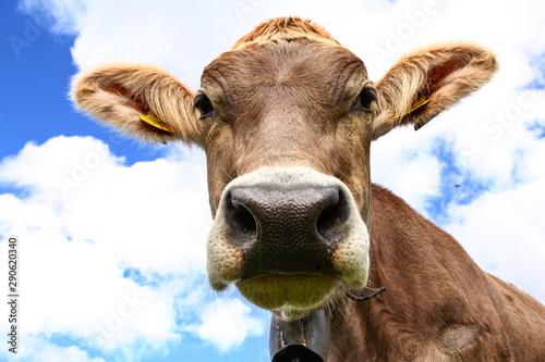Obraz na plátně  Cows in swiss mountains