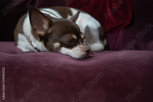 Foto auf AluDibond Huhn chihuahua dog sleep on sofa bed