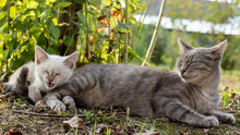 A Cat Is Napping Next To A Kitten Who Has Finished Yawning And Looks As If He Is Laughing Or About To Sneeze, In The Shade Of A Tree.