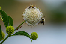 Bees Pollinating A Buttonbush ...
