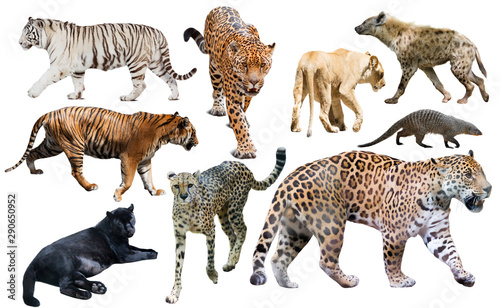 Poster Hyène Set of African predators isolated over white