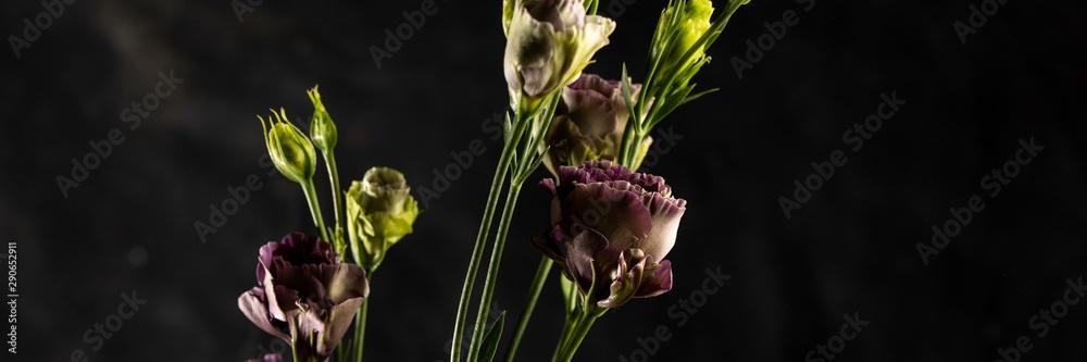 Fototapeta Flower on a black background. Rosanne Black Pearl. Close-up.