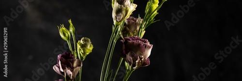 Photo sur Aluminium Marguerites Flower on a black background. Rosanne Black Pearl. Close-up.