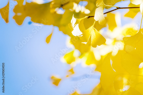 obraz PCV Design concept - Beautiful yellow ginkgo, gingko biloba tree leaf in autumn season in sunny day with sunlight, close up, bokeh, blurry background.