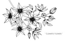 Clematis Flower And Leaf Drawing Illustration With Line Art On White Backgrounds.