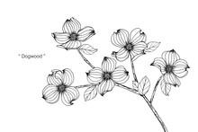 Dogwood Flower And Leaf Drawin...