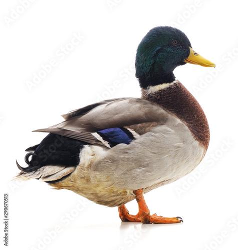 One wild duck.