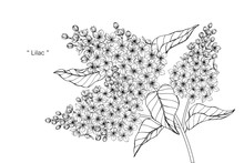 Lilac Flower And Leaf Drawing ...