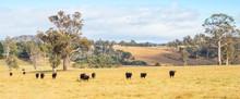 Cattle In Tasmania