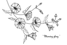 Morning Glory, Flower And Leaf Drawing Illustration With Line Art On White Backgrounds.