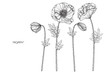Poppy flower and leaf drawing illustration with line art on white backgrounds.