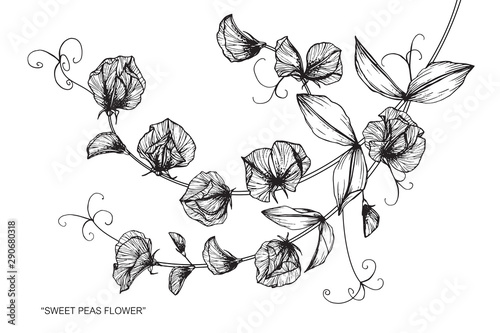 Photo Stands Baby room Sweet pea flower and leaf drawing illustration with line art on white backgrounds.