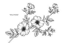 Wild Rose Flower Drawing Illus...
