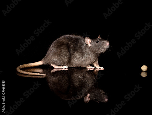 Obraz portret of a gray domestic rat on a black background - fototapety do salonu