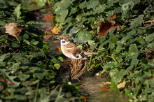 Two Sparrows Bathe In A Stream...
