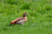 Big Bird Egyptian Goose In Nat...