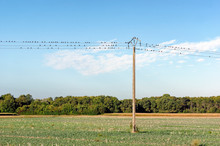 Starlings On Telephone Pole In Agricultural Fields Of Seine Et Marne