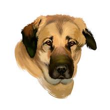 Anatolian Shepherd Dog Digital Art Illustration Isolated On White Background. Anatolian Shepherd Dog Muscular Breed With Thick Neck, Broad Head, And Sturdy Body, White Cream Color Portrait