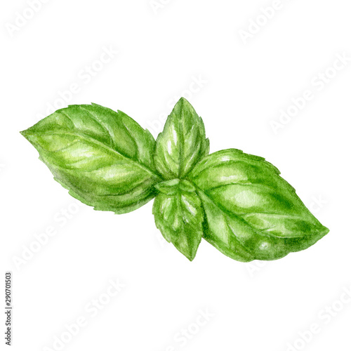Fotografija Basil leaf watercolor isolated on white background