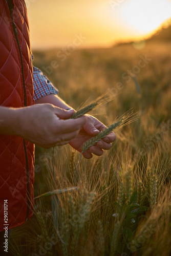 Hand with ears of grain wheat spikelet close up growing, agriculture farming rur Canvas Print