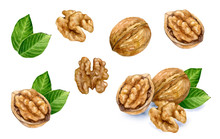 Walnut Set Watercolor Isolated...