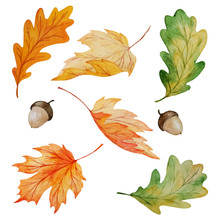 Watercolor Collection Of Maple And Oak Leaves And Acorns Isolated On White Background, Hand Painted Botanical Vector Illustration For Autumn Seasonal Design