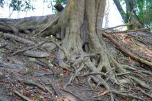 Exposes Tree Roots