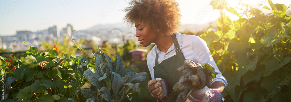 Fototapeta african american woman tending to kale in communal urban garden