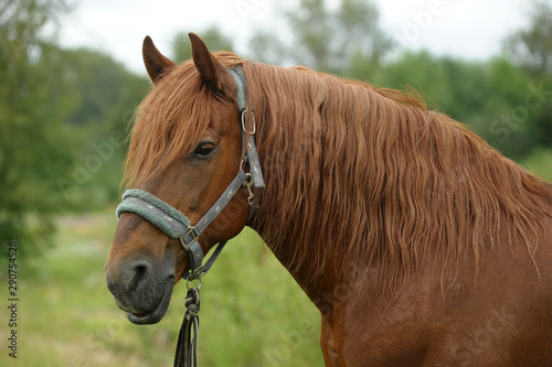beautiful brown horse in summer