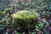 Mossy Tree Stump In Woodland