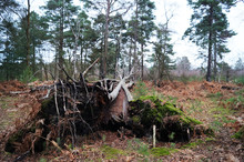 Fallen Tree In Woodland