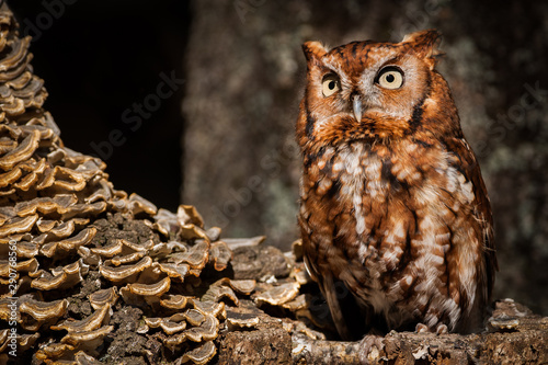 Obraz Screech Owl - fototapety do salonu